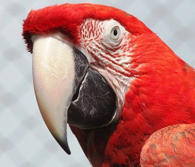 Macaw, Red, Parrot, Bird, Colorful, Bright, Face, Head