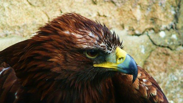 Eagle, Bird, Animal, Bird Of Prey, Wildlife, Predator