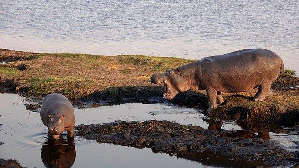 Botswana, Hippos, Hopo, Mother And Child, Wild Animal