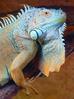 Iguana, Green, Lizard, Kaltblut, Reptile, Animal