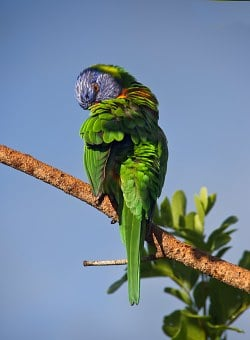 Rainbow Lorikeet, Parrot, Preening, Colourful, Bird