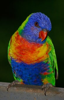 Rainbow Lorikeet, Parrot, Colourful, Bird, Bright
