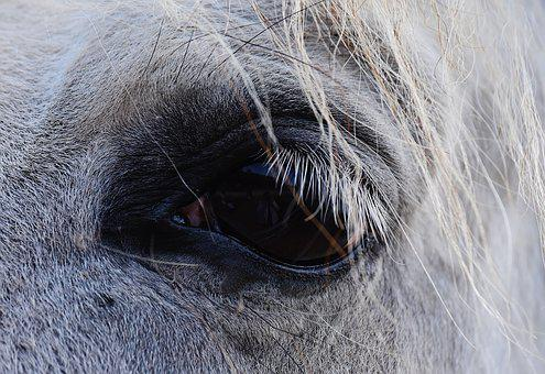 Horse, Mold, Eye, View, Reiterhof, Animal, White Horse