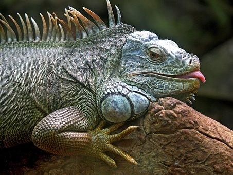 Iguana, Lizard, Animal, Brazil, Iguacu, Jungle