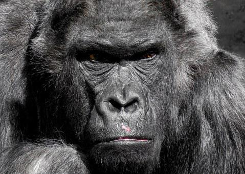 Gorilla, Monkey, Ape, Zoo, Silverback, Grim, Watch
