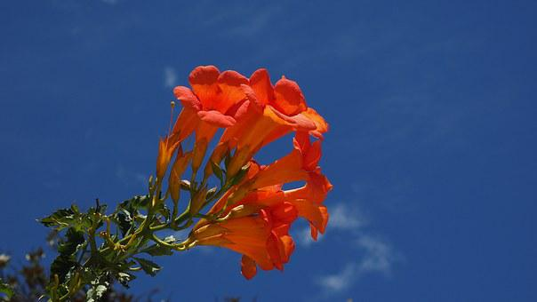 Stans, Blossom, Bloom, Orange, Campsis