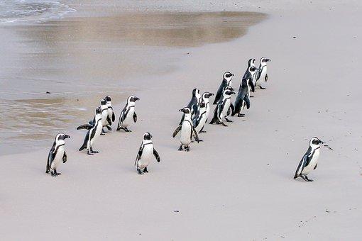 Penguin, Jackass, Leader, Boss, Lonely, Team, African