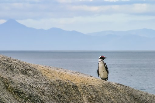 Penguin, Jackass, Lonely, One, Black-footed, African