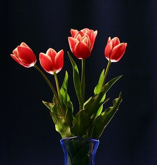 Red, Tulips, Still Life, Floral, Vase, Women's Day