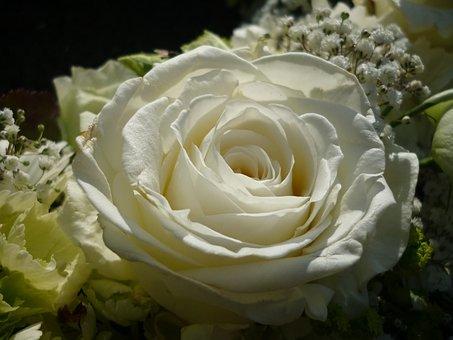 Rose, White, Flower, Fashion Rose, Petals, Nature