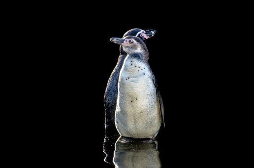 Penguins, Humboldt, Wings, Fun, Bird, White, Rocks