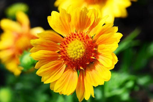 Gaillardia, Blanket Flower, Sunflower Family, Yellow