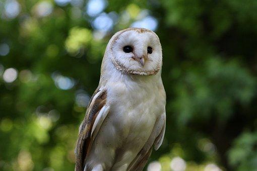 Barn Owl, Owl, Barn, Bird, White, Beak, Wildlife