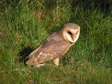 Barn Owl, These Albums, Owl, Predator, In The Grass