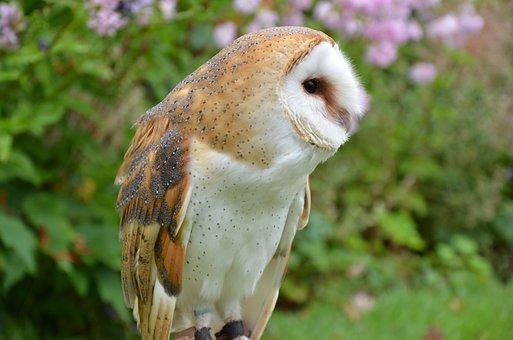 Barn Owl, Owl, Bird, Falconry, Bird Of Prey