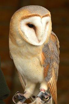 Barn Owl, Bird, British, Nature