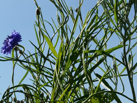 Cornflower, Leaves, Stalk, Blue, True Leaves