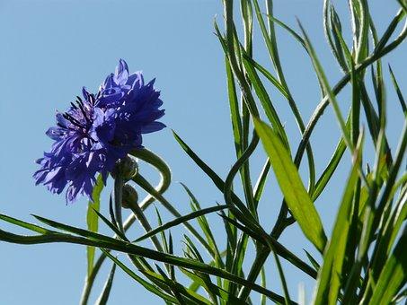 Knapweed, Cornflower, Leaves, Stalk, Blue, True Leaves