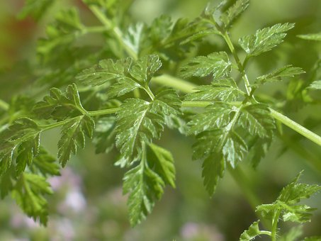 Chervil, Herb, Kitchen Herb, Leaves, Stalk, Plant