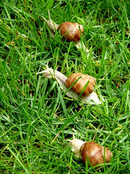 Snails, Grass, Animal, Grapevine Snail, Helix Pomatia