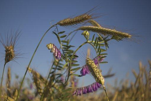 Summer, Corn, Harvest, Feuds, Sky, Nature, Agriculture