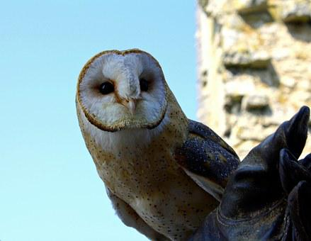 Barn Owl, Owl, Bird, Bird Of Prey, Falconry, Predator