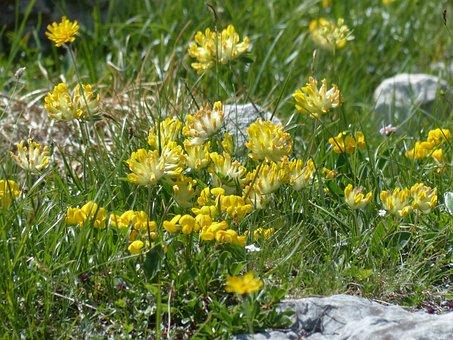 Kidney Vetch, Flower, Blossom, Bloom, Yellow