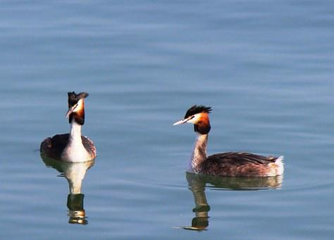 Waterfowl, Great Crested Grebe, Pair, Member, Water