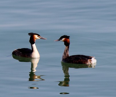 Waterfowl, Great Crested Grebe, Pair, Member, Romance