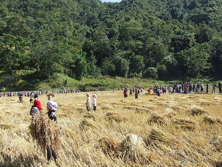 People, Harvest, Harvester, Wheat, Paddy, Cereals, Crop