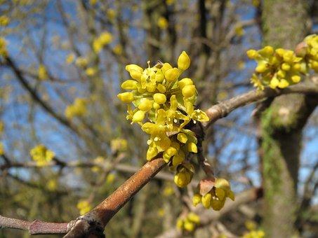 Cornus Mas, Cornelian Cherry, European Cornel, Dogwood