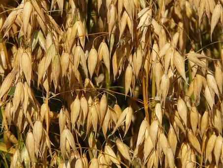 Oats, Oat Field, Arable, Cereals, Grain, Cornfield