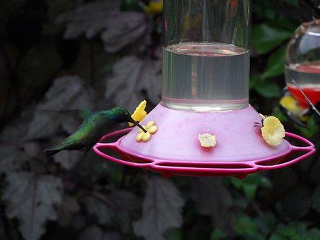 Hummingbird, Ave, Feather Garden, Peak, Fauna, Colombia