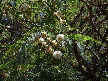 Mimosa, Acacia, Tree, Mimosa Plant, Ball, Blossom