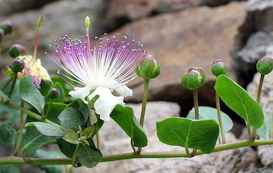 Kapernbluete, Capture, Bud, Blossom, Bloom, Lipari