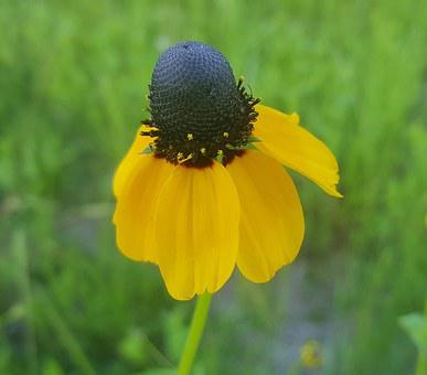 Coneflower, Clasping-leaf Coneflower, Flower, Droopy