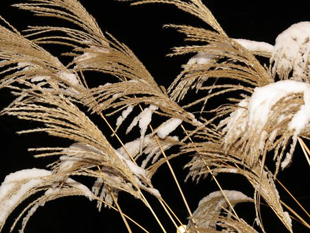 Reed, Grass, Trockenblume, Dry, Miscanthus