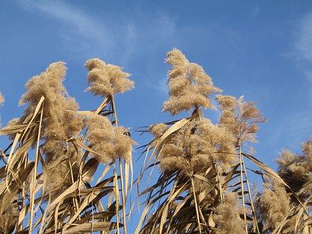 Stalk Flowering Grass, Miscanthus, Plant, Autumn