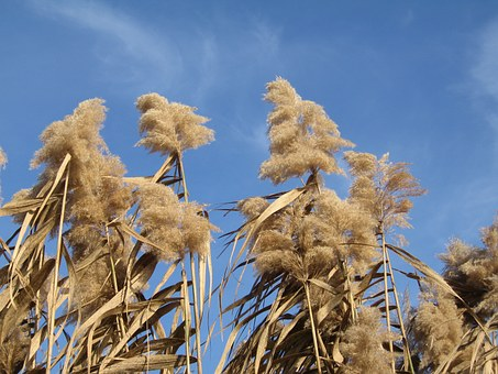 Stalk Flowering Grass, Miscanthus, Plant, Autumn