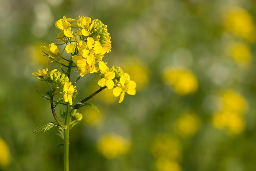 Oilseed Rape, Yellow, Blossom, Bloom, Plant, Field