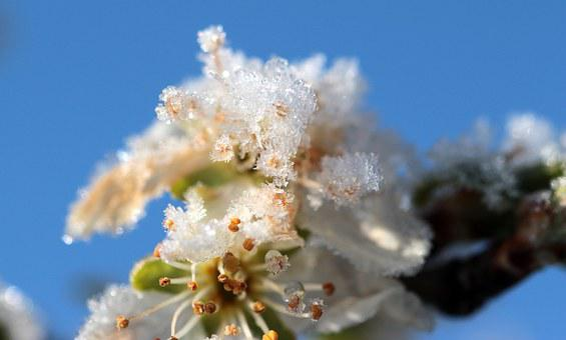Plum Tree, Prunus Domestica, Plum Blossom, Spring