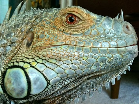 Iguana, Reptile, Lizard, Green, Blue, Scales, Profile