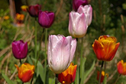 Tulips, White Tulips, Red, Flower, Spring, Nature
