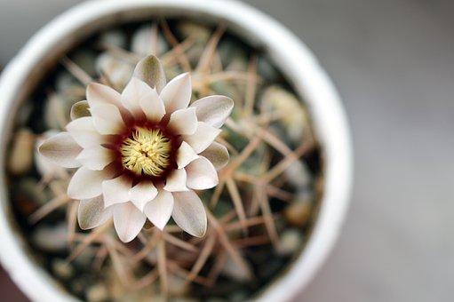Gymnocalycium, Cactus Flower, Cactus, Flowering Cactus