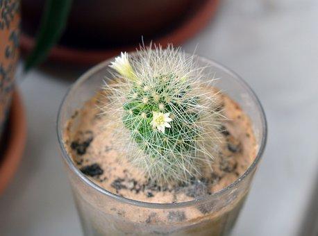 Mammillaria, Cactus Flowers, Cactus, Succulent, Plants