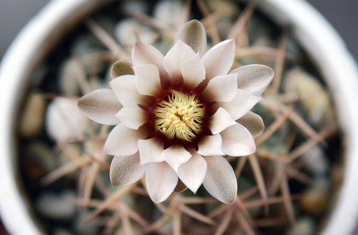 Gymnocalycium, Flowering Cactus, Succulent, Plant