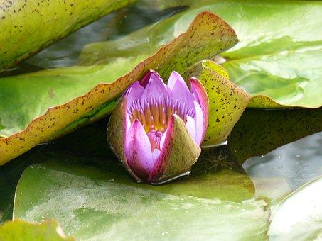Water Lily, Pond, Pink, Water, Leaf, Spring