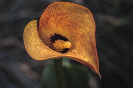 Zantedeschia, Calla, Kalla, Blossom, Bloom, Plant