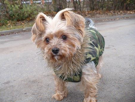 Dog, Yorkshire, Terrier, Pet, Street, Little, Animal