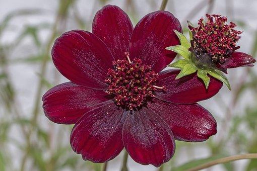 Chocolate Kosmee, Chocolate Flower, Flower, Plant